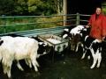 vb38feeding-calves