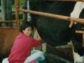 wwoofer-milking-cow