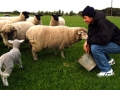 wwoofer-with-sheep
