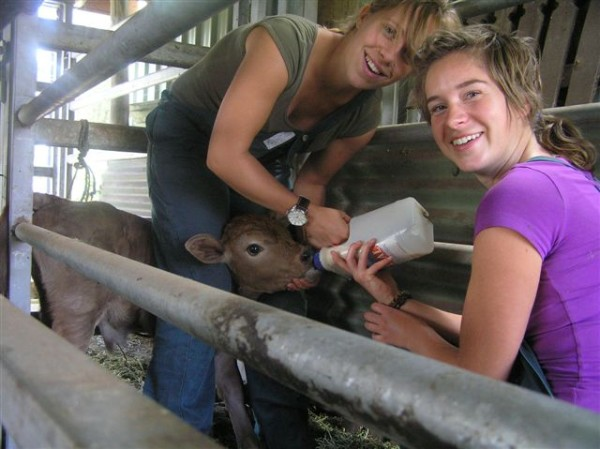 wwoofers-feeding-calf